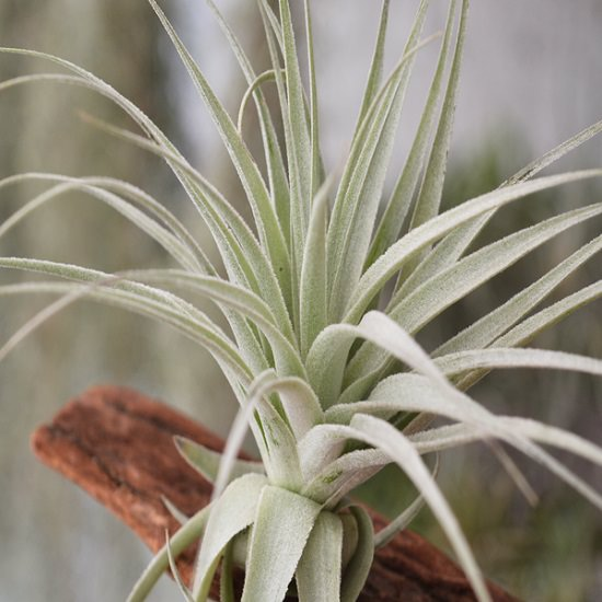 how big do air plants get 8