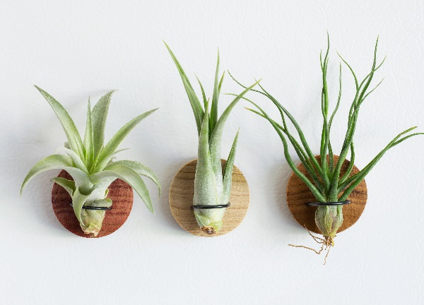What is an Air Plant Called 2