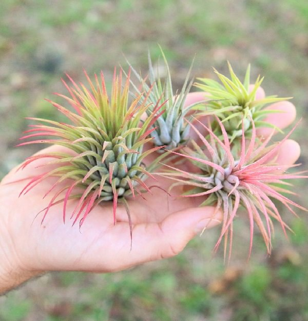 What is an Air Plant Called 1