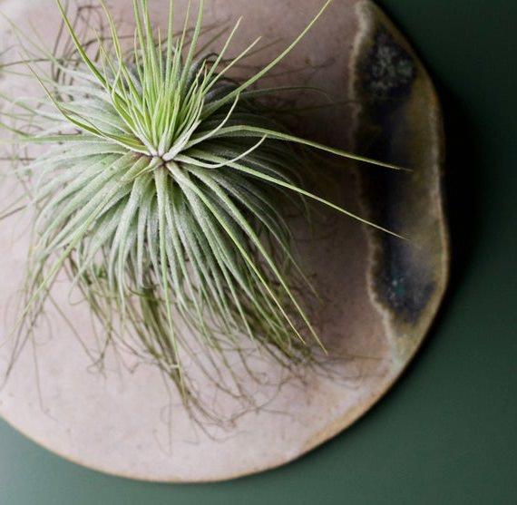Tillandsia Magnusiana Care and Growing