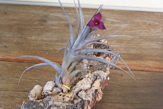 Tillandsia Zecheri growing care